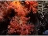 australia-lizard-island-i-rami-infuocati-di-un-alcionario