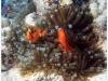 australia-lizard-island-pesce-pagliaccio-tra-anemoni-01