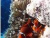 australia-lizard-island-pesce-pagliaccio-tra-anemoni-02