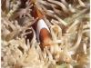 australia-lizard-island-pesce-pagliaccio-tra-anemoni