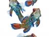 visarute-angkatavanich-mandarine-fish