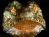 Mottled Jawfish Mouth brooding eggs.  Taken with 10x subsea diopter, 2 homemade snoots and three strobes (one on a tripod on slave mode) to limit the lighting,  Riviera Beach, Florida, U.S.A.