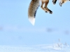 foto-naturalistiche-big_richard-peters-snow-pounce-veolia-environnement-wildlife-of-the-year-2012