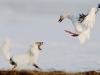 foto-naturalistiche-big_sergey-gorshkov-the-duel-veolia-environnement-wildlife-2012