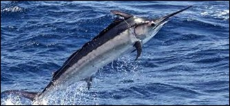 Black marlin 2