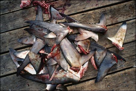 Shark-fins1