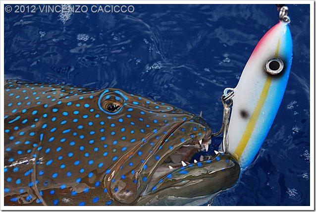 Cernia-dei-coralli-con-Bertox-Fusilier