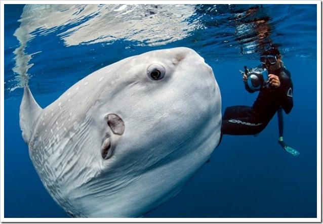 Mola Mola photo by Daniel Bothelo