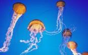 jellyfish_4.jpg