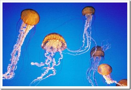 jellyfish_4