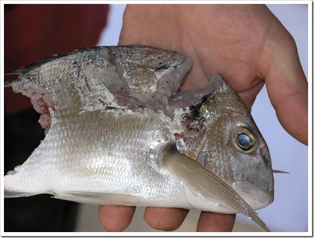 Big-Fish-Arbus-2012--Sushi-di-orata