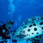 AUSTRALIA-LIZARD-ISLAND---Cod-Hole--feeding-Potato-Cod