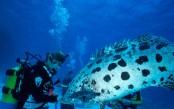 AUSTRALIA-LIZARD-ISLAND---Cod-Hole--feeding-Potato-Cod