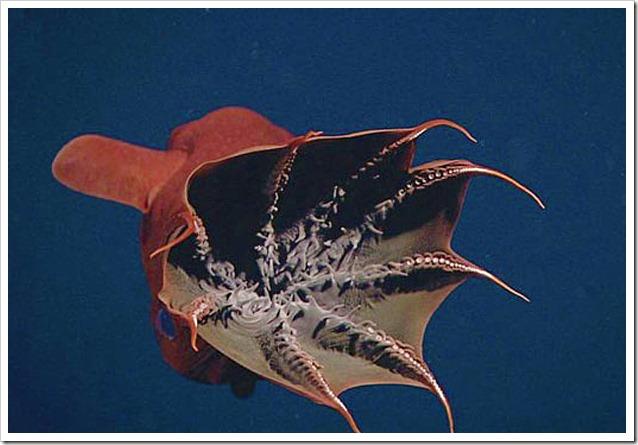 Vampyroteuthis-web