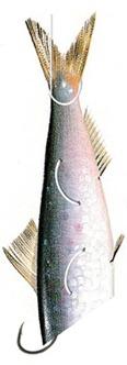 Innesco sardina