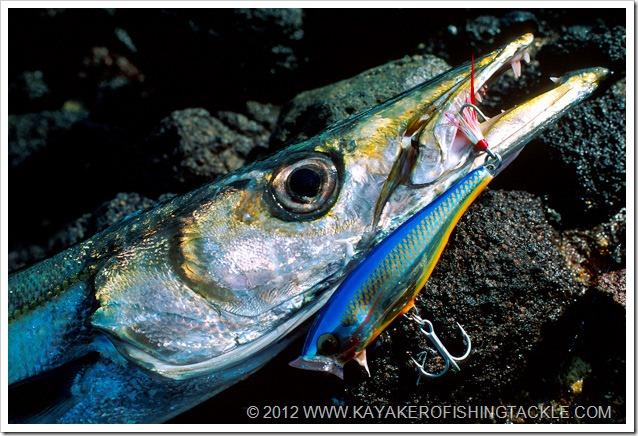 Spinning-Barracuda---particolare-spyraena-viridensis