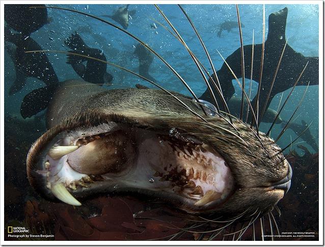 Morso Otaria
