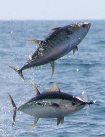 yellowfin_tuna_flying