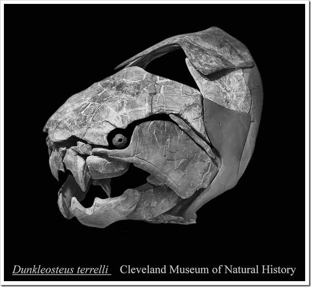 Dunkleosteus cranio fossile