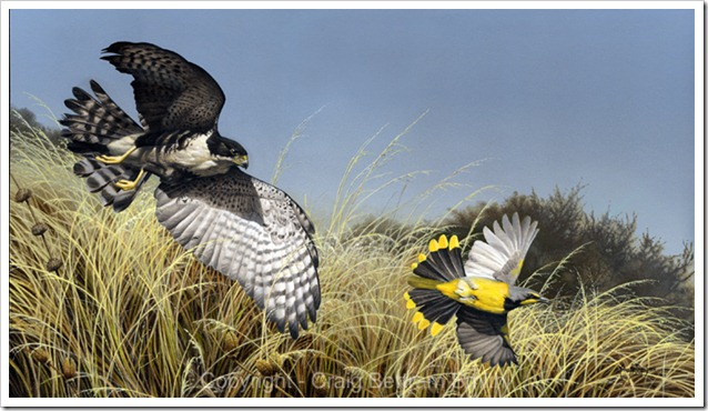 Black-Sparrow-hawk-print