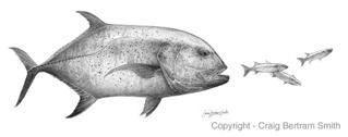 Kingfish-sketch-L