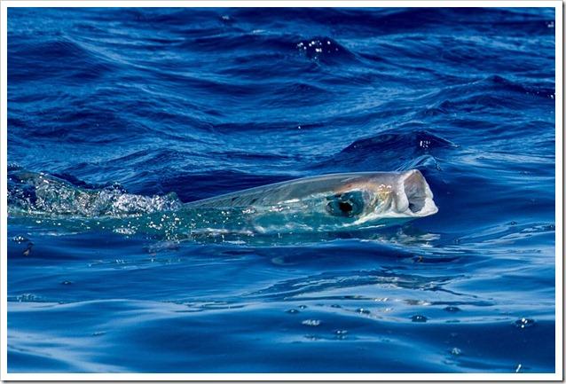 Milkfish a galla