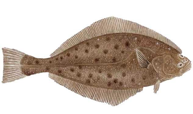 halibut2
