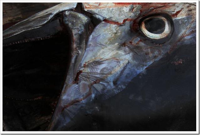 tonno-rosso-chiusa-stagione-2013