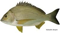 yellowfin-bream-web