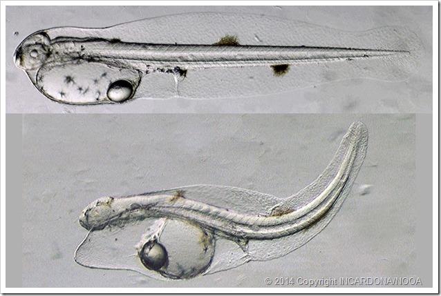 Petrolio e pesci foto larva tonno