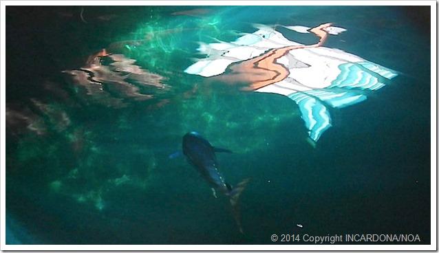 Petrolio e pesci tonno in vasca a Panama