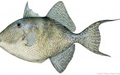 gray-triggerfish-copy.jpg