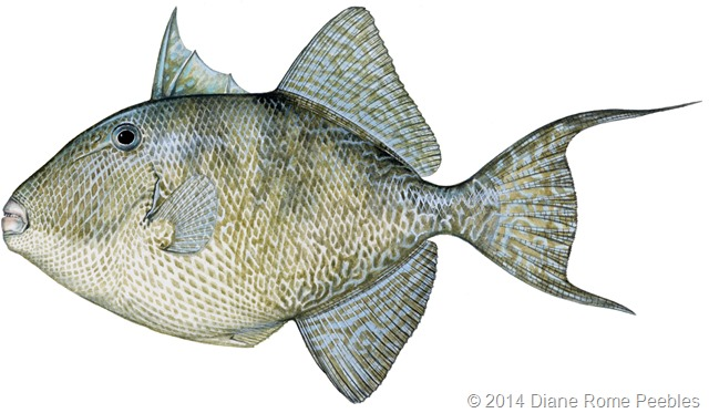 gray-triggerfish-copy