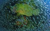 NG-napoleon-wrasse-coral-photo-Christian-Miller.jpg