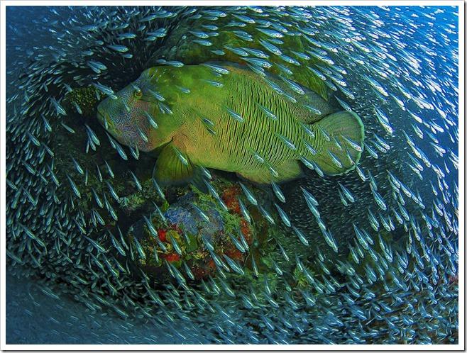 NG napoleon-wrasse-coral photo Christian Miller