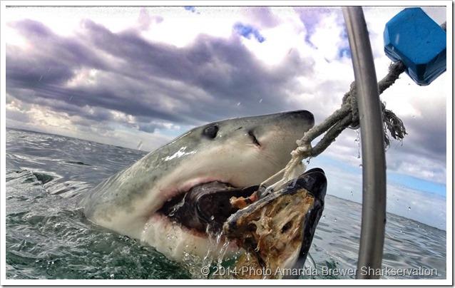 Shark_Amanda_Brewer_6-800x498 3