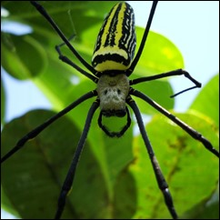 Spider-Golden-Orb-weavers-Nephila