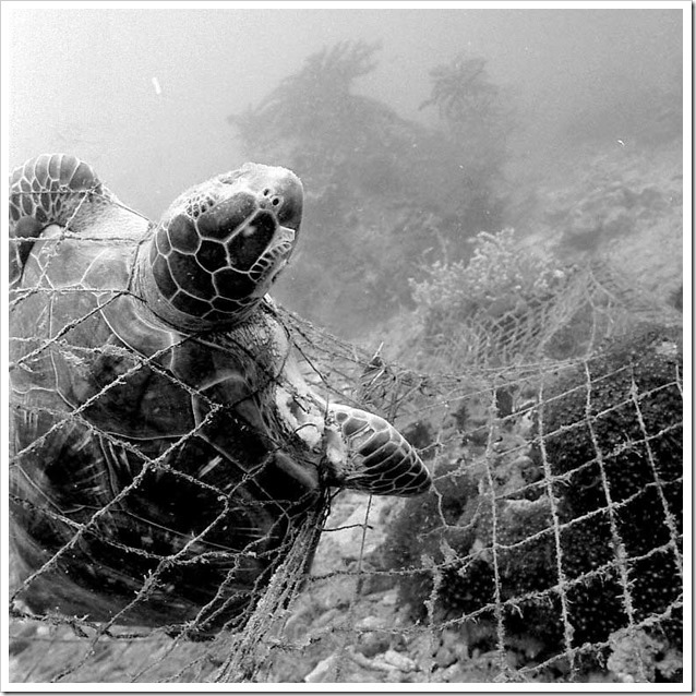 Trapped Dead Sea Turtle