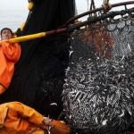 Sardine del Pacifico a rischio estinzione