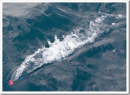 Shimano Ocea Spouter nuoto a galla