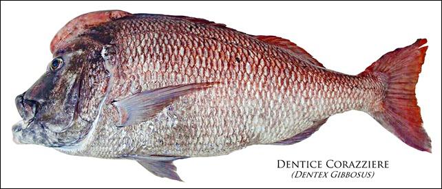 Dentex-Gibbosus
