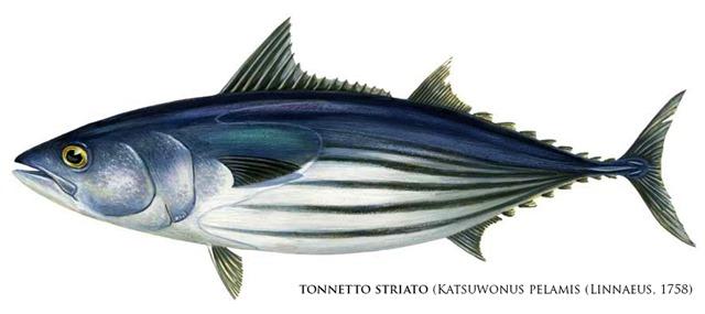 katsuwonus_pelamis_skipjack-tuna