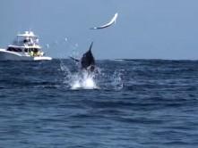 Marlin-Vs-Dorado.jpg