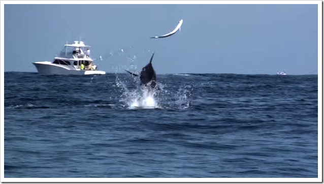 Marlin-Vs-Dorado