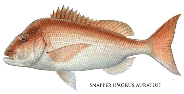 Snapper-Pagrus-auratus