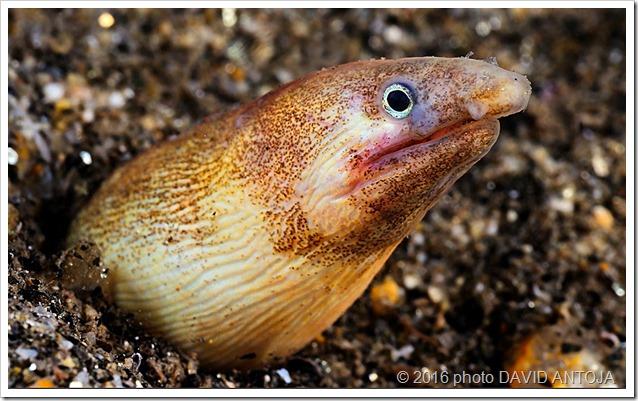 Dalophis-imberbis-photo-David-Antoja