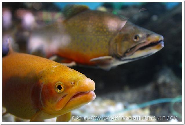 Vasca-specie-freshwater