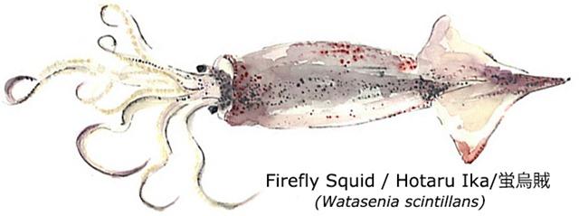 Firefly-Squid