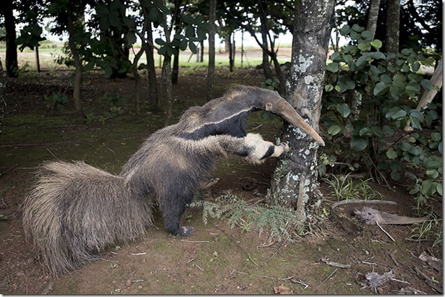 anteater-taxidermy-wpy-two-column