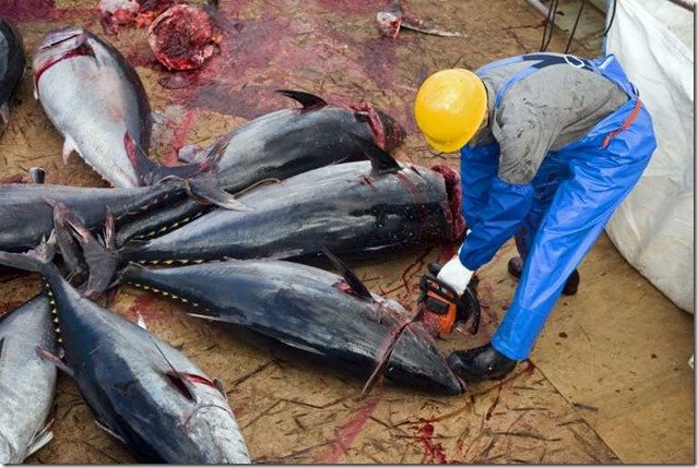 bluefin-tuna-risk-collapse-drastic-action_77